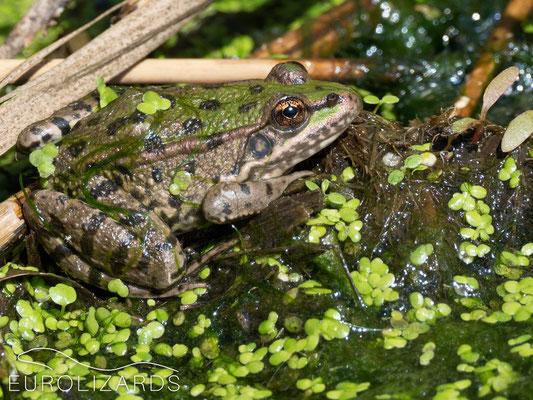 Pelophylax ridibundus (Marsh Frog)