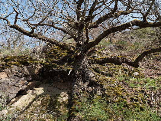 An oak tree growing on the rock.