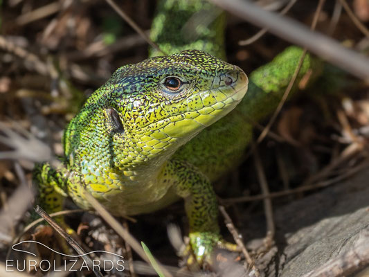 Very shy Lacerta diplochondrodes