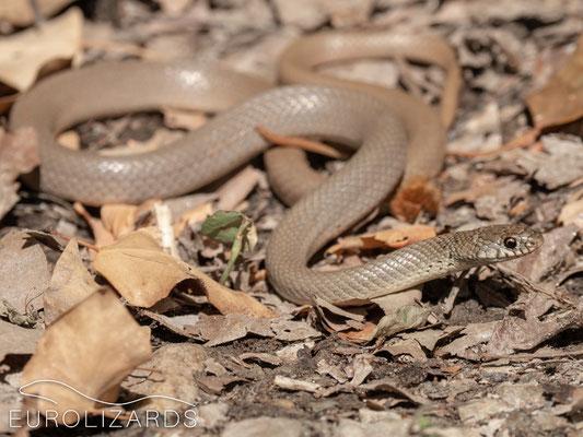 Eirenis modestus (Dwarf Snake)