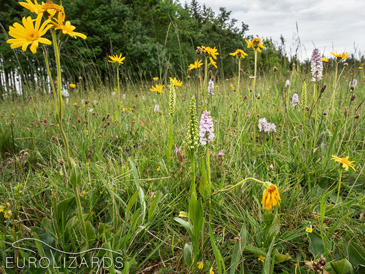 A meadow with Arnica montana, Dactylorhiza maculata and Pseudorchis albida. The latter one is exteremely rare in our area.