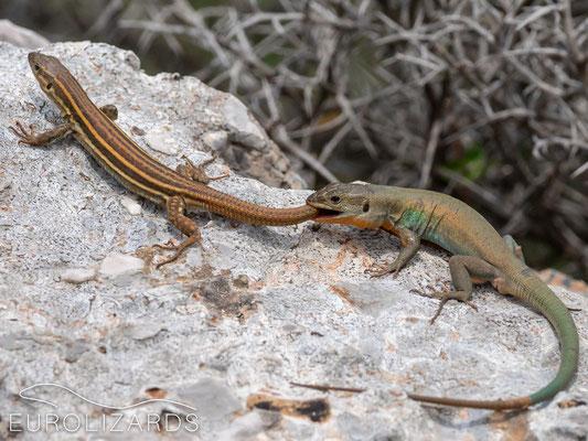 Podarcis peloponnesiacus thais (pair)