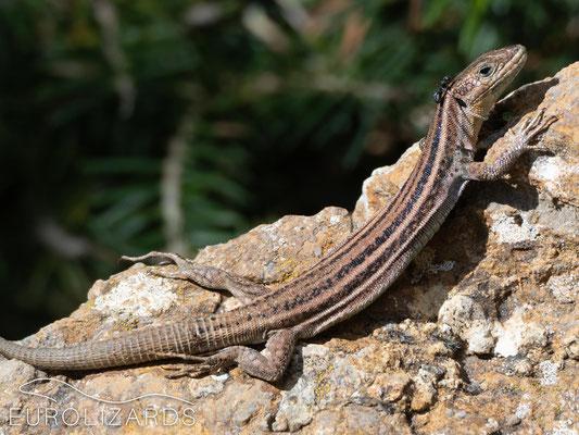 Podarcis peloponnesiacus (female)