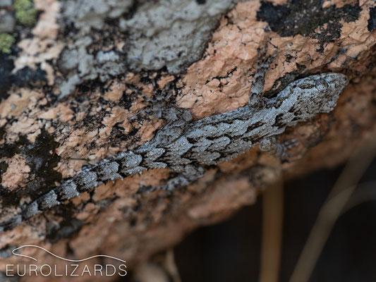 Mediodactylus (kotschyi) danilewskii