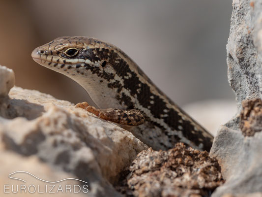 These skinks, which are rather shy in other areas, were easy to photograph on Kastellorizo: This and the following pictures show different specimens in order to demonstrate the abundance of this species.