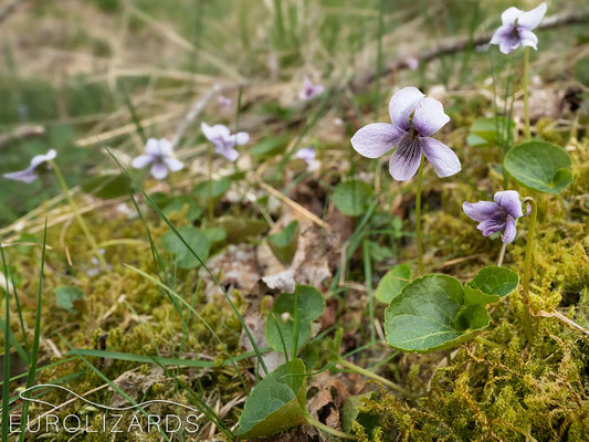 Viola palustris grows on pour, wet substrates