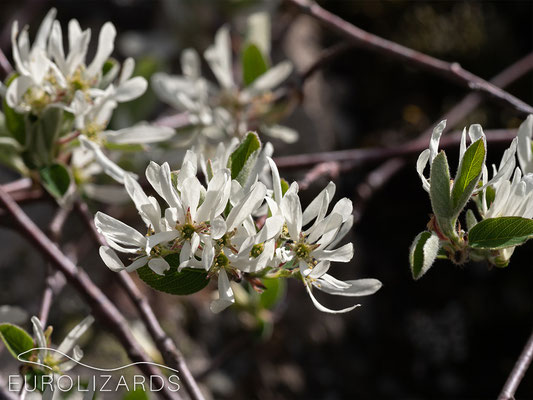 Amelanchier ovalis: In Germany, this plant occurs in very warm habitats only.