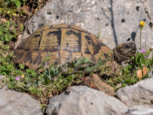 Testudo hermanni (Hermann's Tortoise)