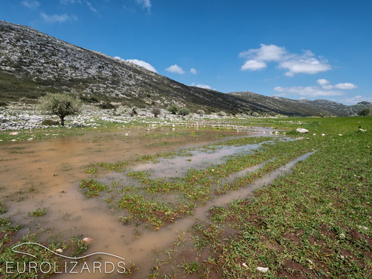 The heavy rainfalls turned the pastures into brilliant reproducing places for Bufotes viridis