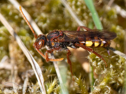 A parasitic bee of the genus Nomada. It lays its eggs in the nests of other wild bees where their larvae feed on the host larvae.