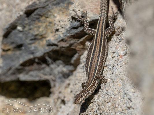 Podarcis guadarramae guadarramae (female)