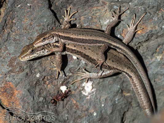 These lizards use sunbasking as part of their social behaviour
