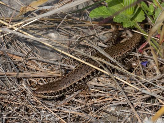 Trachylepis aurata