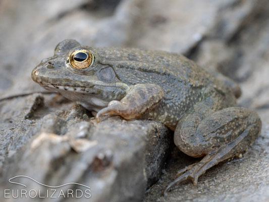 Karpathos Water Frog (Pelophylax bedriagae)
