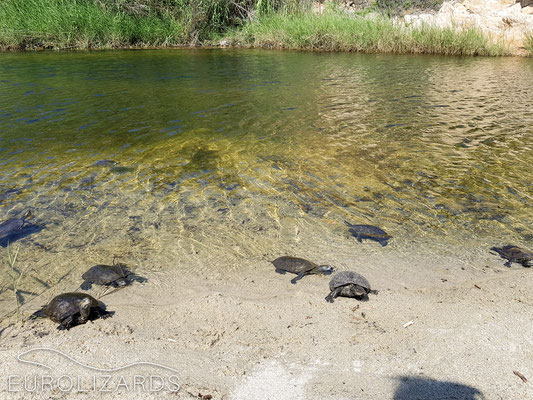 A nice river with Mauremys rivulata (Balkan Terrapin)