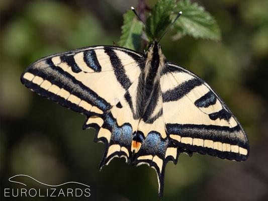 Papilio alexanor (Southern Swallowtail )