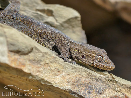 Mediodactylus kotschyi solerii