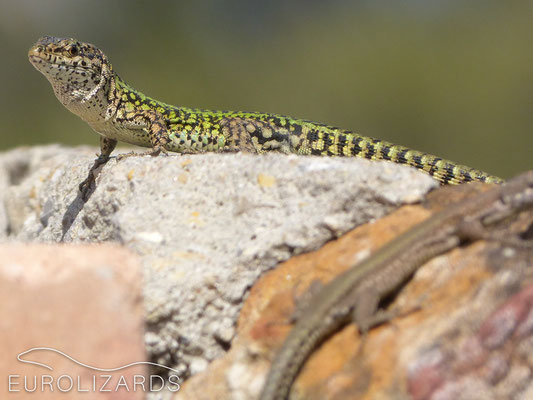 Mating in Podarcis vaucheri (E / Andalusia, 17.03.2012): The male spots female...