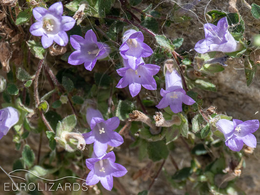 The endemic Campanula carpatha