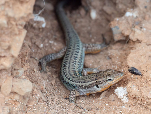 ...and its strange lizards: Male Podarcis peloponnesiacus with strange pattern