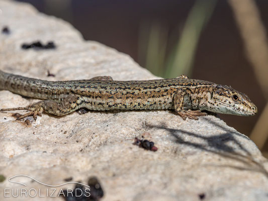 Podarcis liolepis was found in syntopy with Podarcis muralis