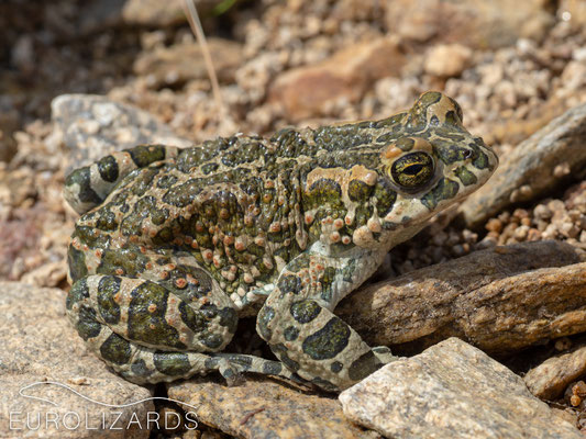 This Green Toad (Bufotes viridis) was active by day