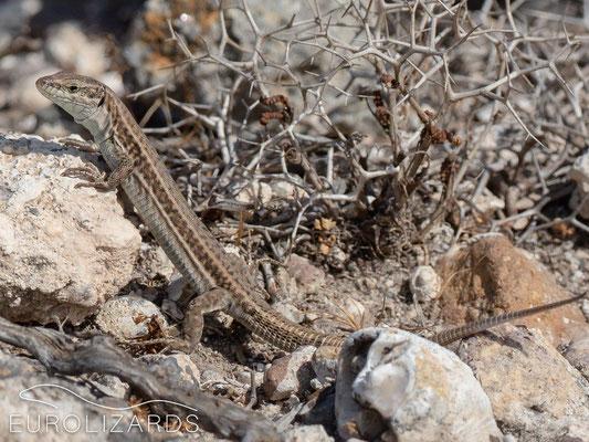 Podarcis erhardii (female)