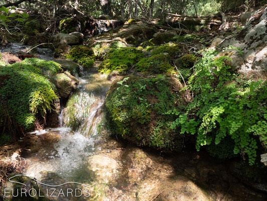 Mossy place with fern (Adiantum capillus-veneris)