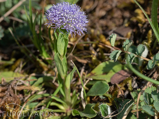 Globularia bisnagarica, a member of a Mediterranean genus with only one species being native in our area.