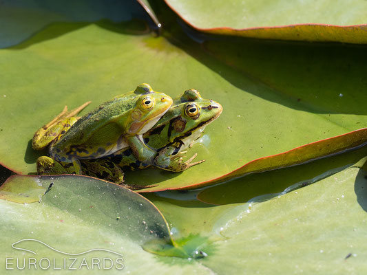Happy frogs (Pelophylax sp.)