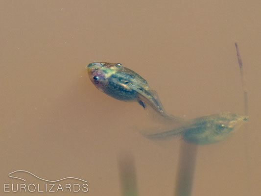 Tadpoles of Pelobates cultripes