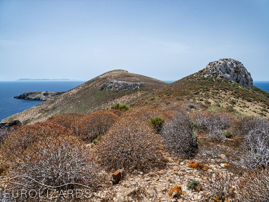 Habitat on Astakida with Euphorbia dendroides - these plants show autumn leaves already end of spring. The island in the far back is Kasos.