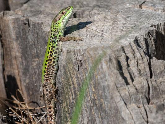 Podarcis ionicus (Ionian Wall Lizard)