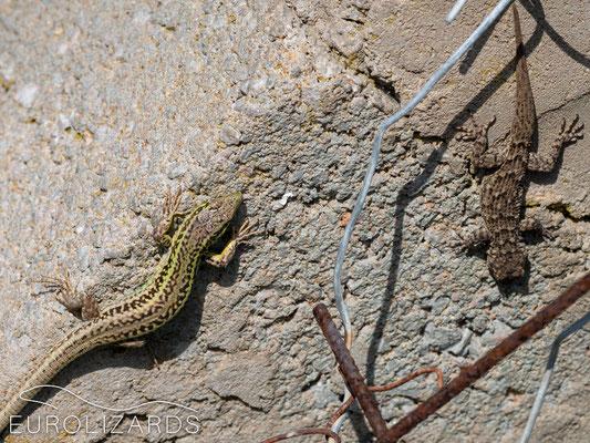 Podarcis erhardii erhardii and Mediodactylus kotschyi