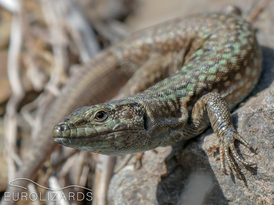 The first lizards: Podarcis erhardii syrinae had been described some 80 years ago but as far as we know, there had been no publicly available pictures of that subspecies so far.