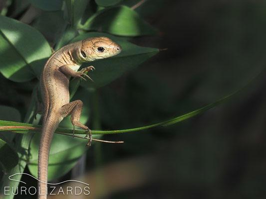 Lacerta viridis (juvenile)