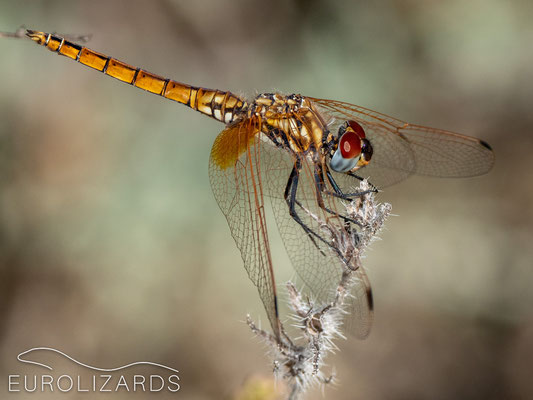 Sympetrum fonscolombii (female) – an omnipresent dragonfly in autumn