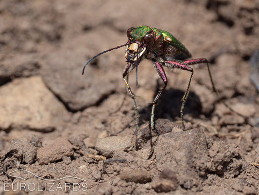 Cicindela campestris, a fierce predator of small insects and Arachnids.