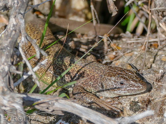 "Lacerta trilineata citrovittata – these ""Green Lizards"" with brownish colours are quite confusing…"