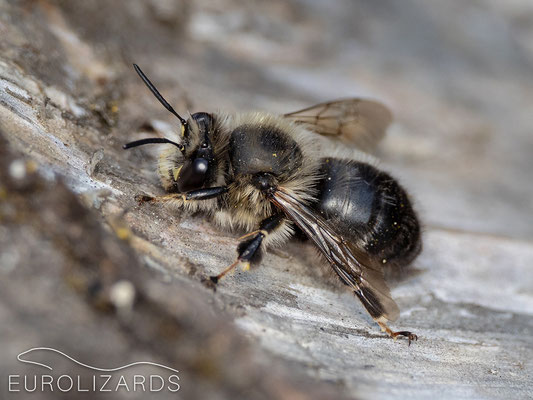 and its host: Anthophora aestivalis