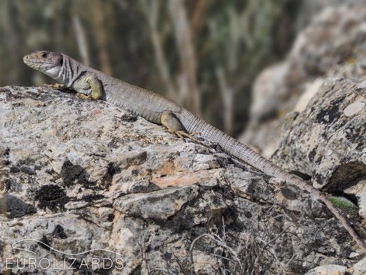 Timon nevadensis – male