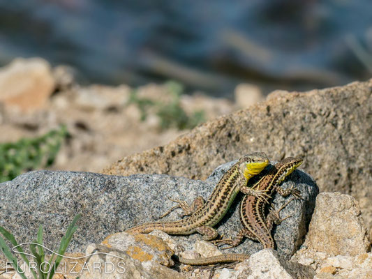 Lizards at the lake: Podarcis erhardii erhardii
