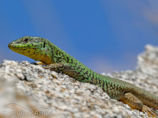 Podarcis erhardii naxensis – compared to the Astypalaia lizards the specimen from Naxos are quite colourful.