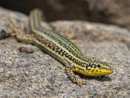 Podarcis erhardii erhardii: These lizards are just fun!