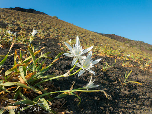 On Linosa, Pancratium maritimum grows on volcanic ashes instead of sandy dunes.