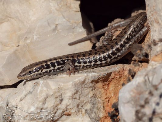 Heremites auratus was highly abundant this time – these skinks seem to occupy the ecological niche of Lacertids on Kastellorizo. It is quite surprising that the occurrence of this species on the island was first reported in 2005 by PAYSANT.