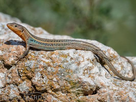 Podarcis peloponnesiacus, male from the same habitat with orange throat