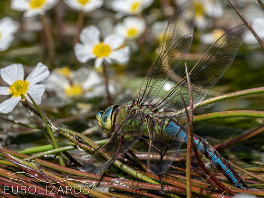Anax imperator ovipositing