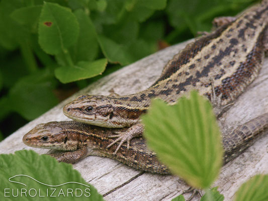 Zootoca vivipara (Viviparous Lizard) basking together at cold and overcast weather (D / Bavarian Alps, 06.07.2010).