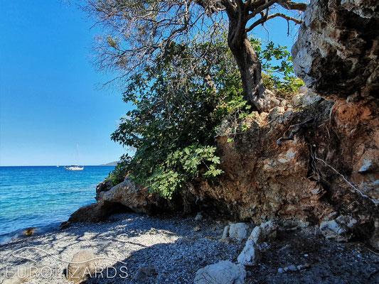 Coastal habitat of Hellenolacerta graeca